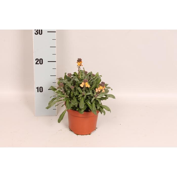 <h4>vaste planten 12 cm Erysimum Fragnant Sunshine</h4>