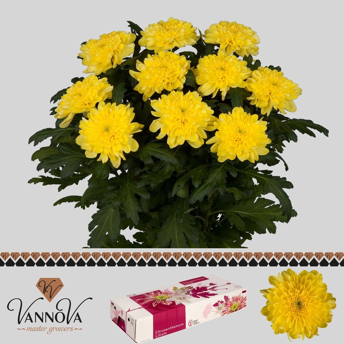 <h4>Chrysanthemum PL 'Zembla Yellow'</h4>