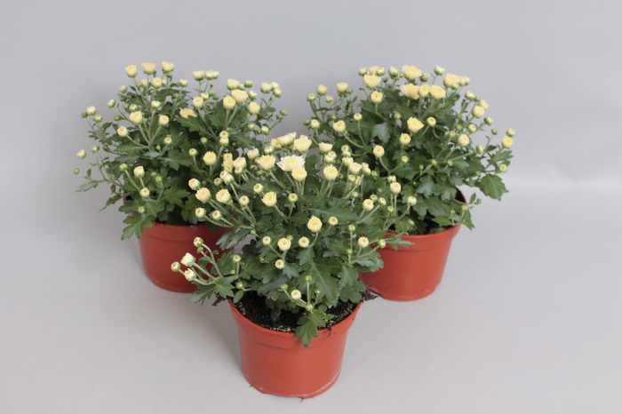 <h4>Potchrysant White</h4>