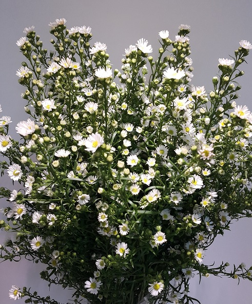 <h4>Asters Paquita White</h4>