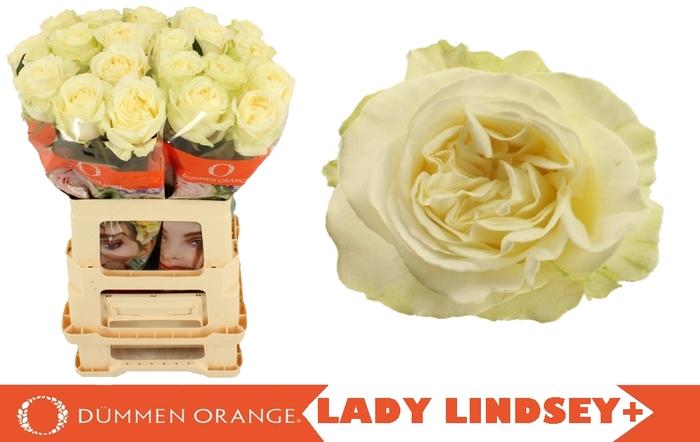 R GR LADY LINDSEY+