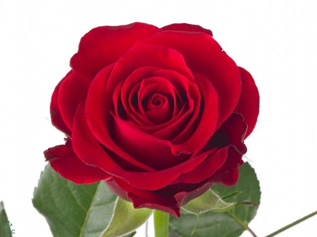 Rosa Gr. Red Ribbon