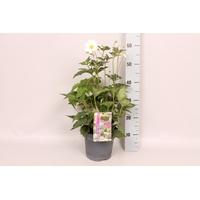 <h4>vaste planten 19 cm  Anemone Tiki Sensation Wit</h4>