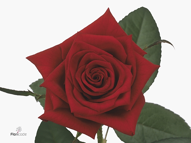 <h4>Rosa Ec Black Magic</h4>