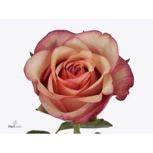 Rosa Gr. Vintage