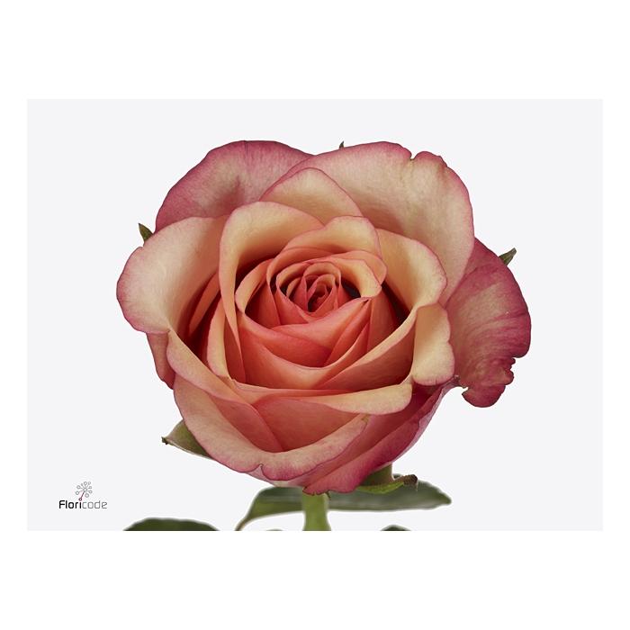 <h4>Rosa large flowered Vintage</h4>