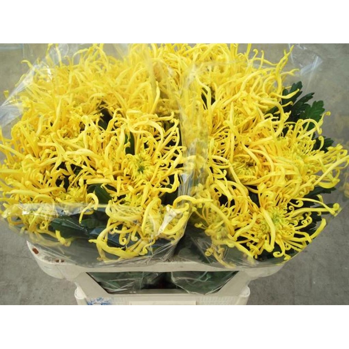 <h4>Chr G Cobra Yellow</h4>