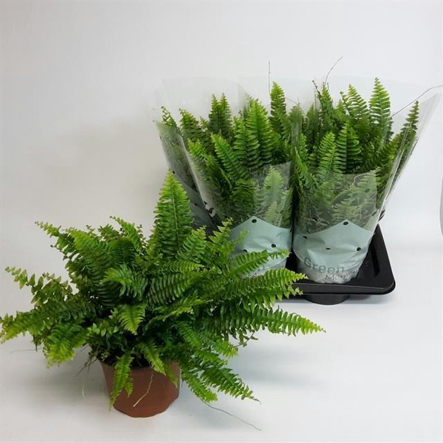 <h4>Nephrolepis exaltata 'Green Moment'</h4>
