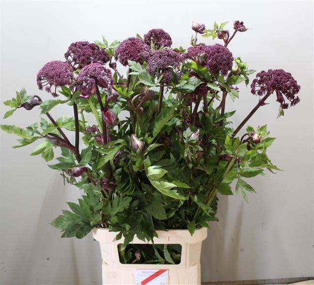 <h4>ANGELICA GIGAS</h4>