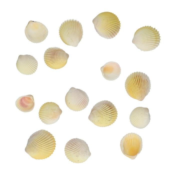 <h4>Schelpen Cardium Flavus Shell 500gr</h4>