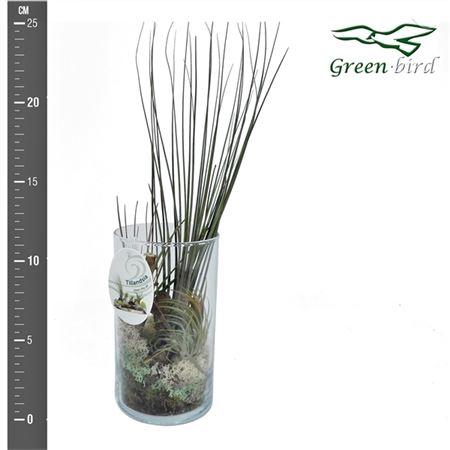 <h4>Opm Tillandsia Cylinder Glas 2plant Tillcylpl2</h4>