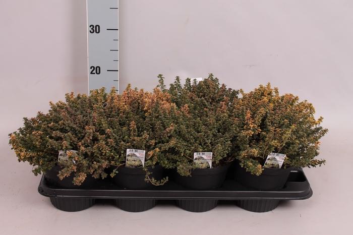 <h4>Kruiden I Thymus citriodorus (citroentijm)</h4>