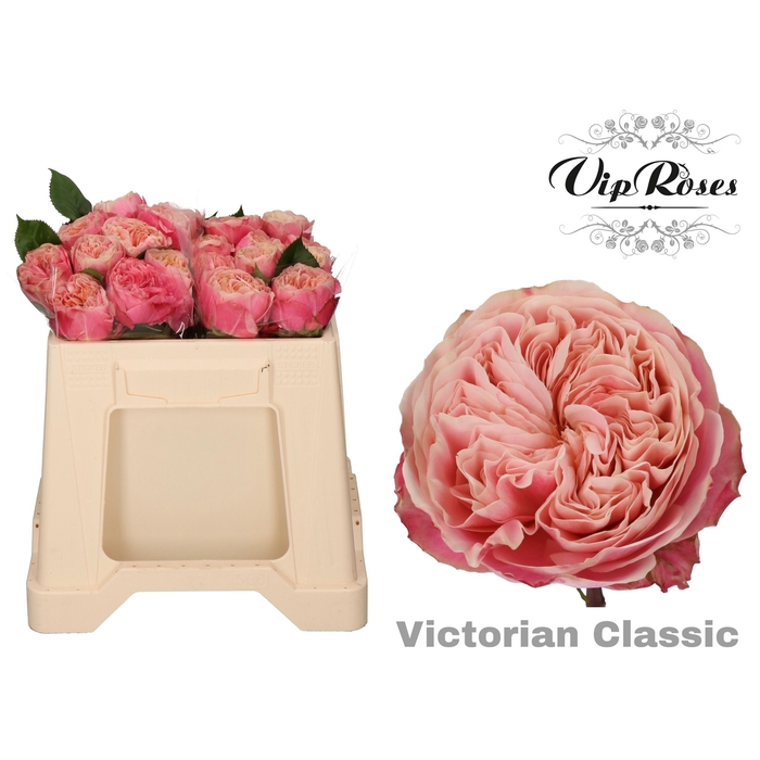 <h4>R GR VICTOR CLASSIC@</h4>