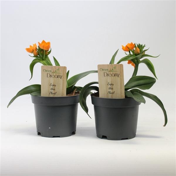 <h4>Ornithogalum dub. orange</h4>