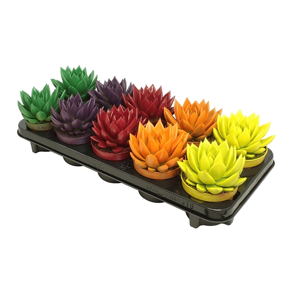 <h4>Echeveria coloured seasonal mix</h4>