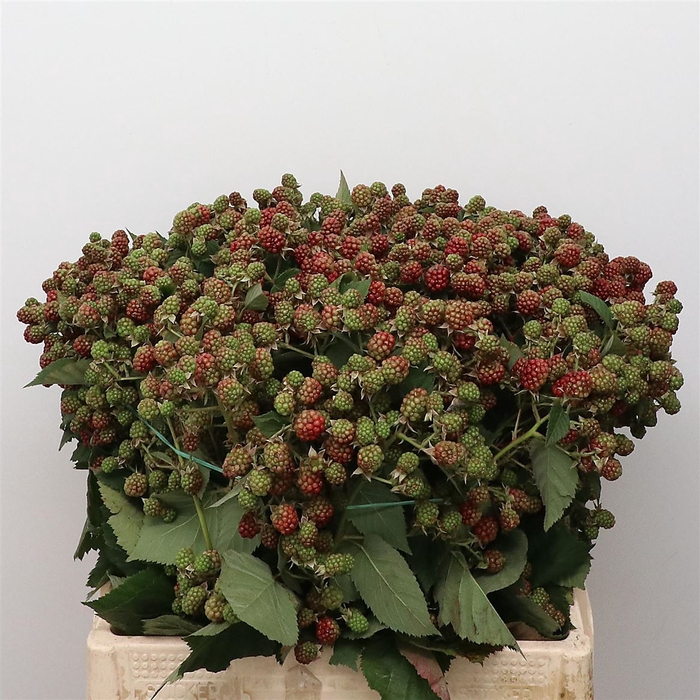 <h4>Rubus Fr Chester Super</h4>