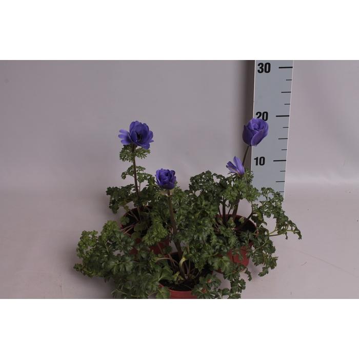 <h4>Anemone Coronaria Animo Blauw</h4>