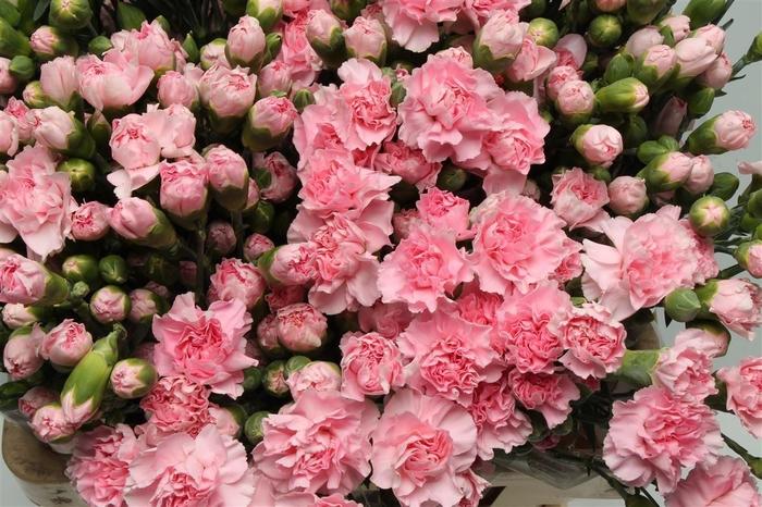 <h4>Di tr Light Pink Barbara</h4>