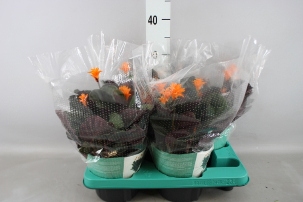 <h4>Calathea crocata 'Candela'</h4>