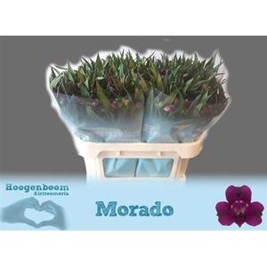 Alstr Morado