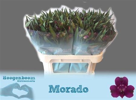 <h4>Alstr Morado</h4>