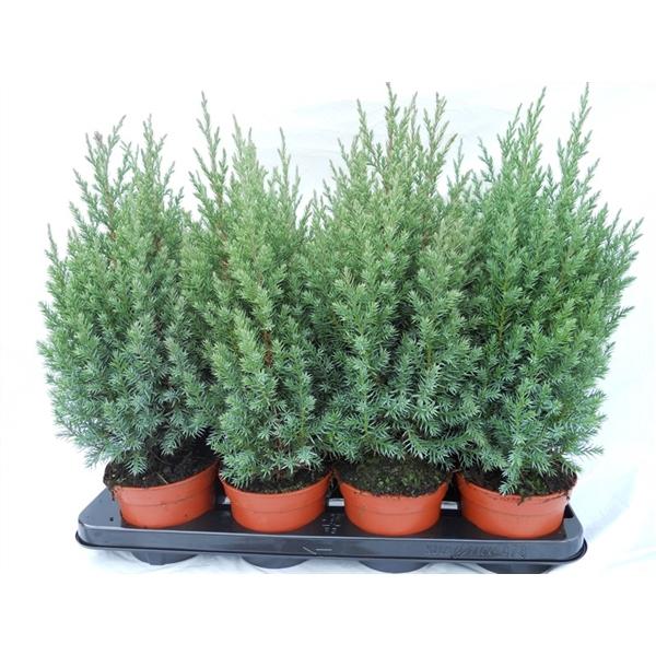 <h4>Juniperus chin. Stricta</h4>