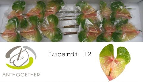 <h4>Anthurium andr. 'Lucardi'</h4>