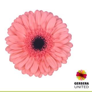 <h4>Gerbera Scala</h4>
