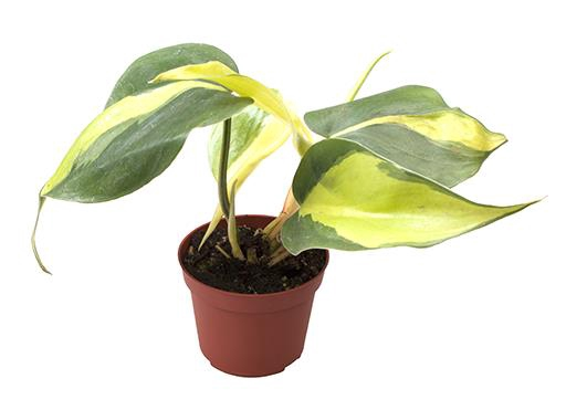 <h4>Philodendron Scandens Brazil 6Ø 12cm</h4>