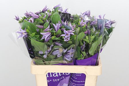 <h4>Clematis Star River Lilac</h4>