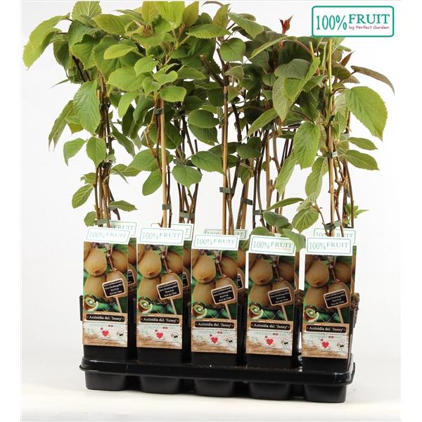 <h4>Actinidia deliciosa jenny - Self-fertile - 100%FRUIT</h4>