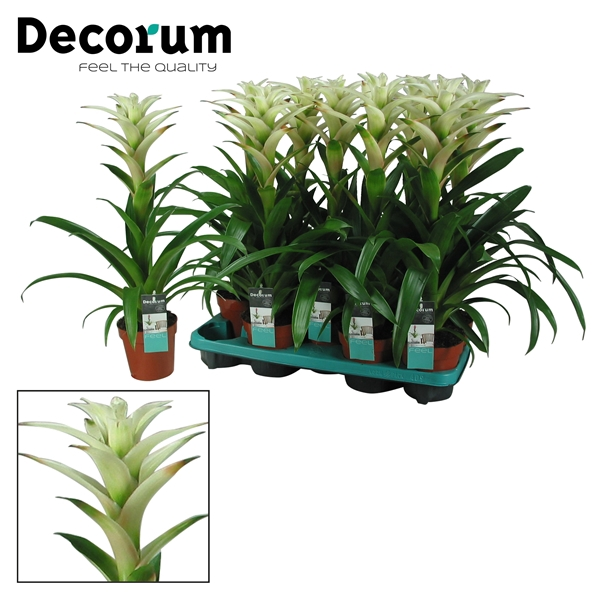 <h4>Guzmania Mara Wit (Decorum)</h4>