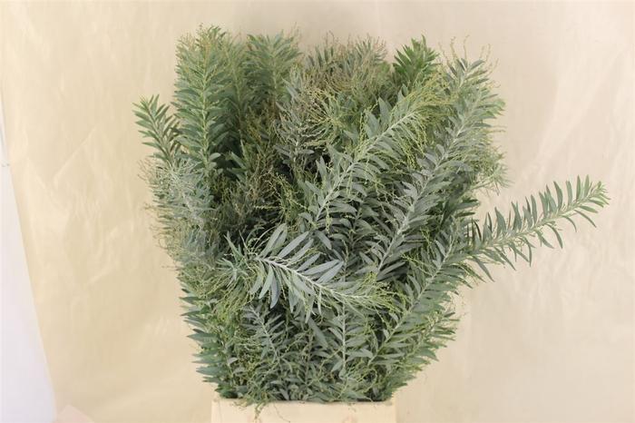 <h4>Mimosa Luna D'argento Pbs</h4>