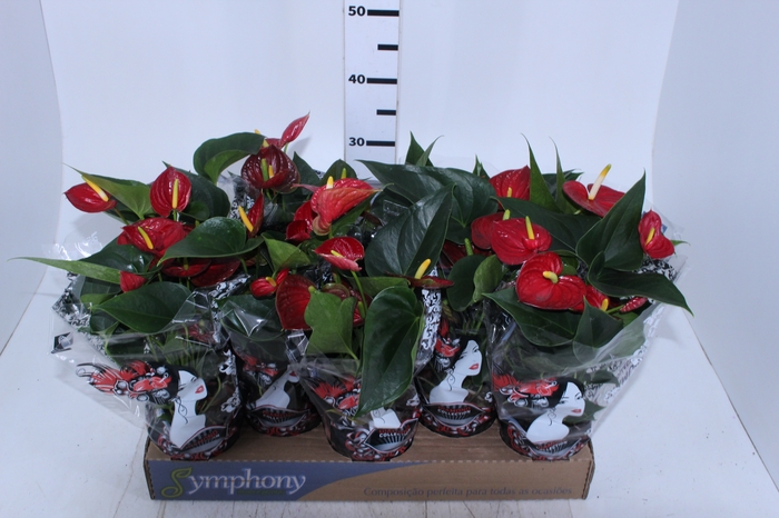 <h4>ANTHURIUM RED SUCCESS P12</h4>