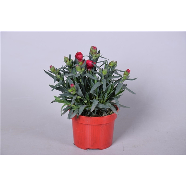 <h4>Dianthus Oscar Dark Red</h4>