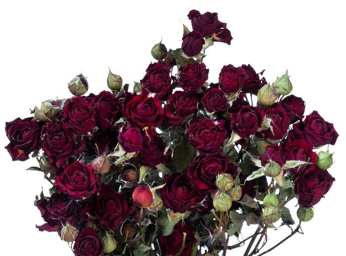 Dried Rosa tros Mirabel