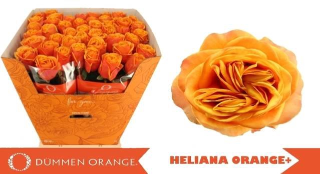 <h4>R GR HELIANA ORANGE+</h4>