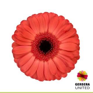 <h4>Gerbera Colima</h4>