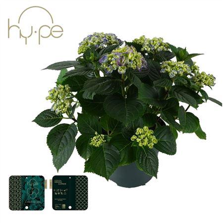 <h4>Hydrangea Curly Wurly Blue 7+</h4>