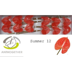 ANTHURIUM SUMMER