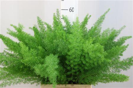 <h4>Asparagus Meyeri 50</h4>