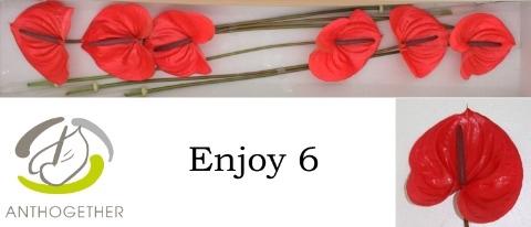 <h4>Anthurium andr. 'Enjoy'</h4>