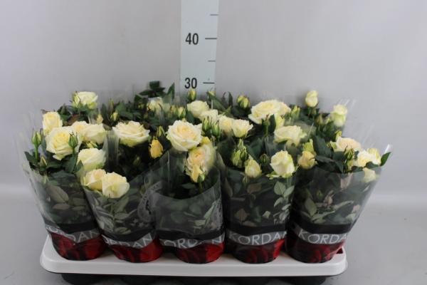 <h4>Rosa  'Pearl Kordana'</h4>