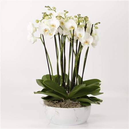 <h4>Phalaenopsis 12 Tak Wit In Luxe Wit Schaal</h4>