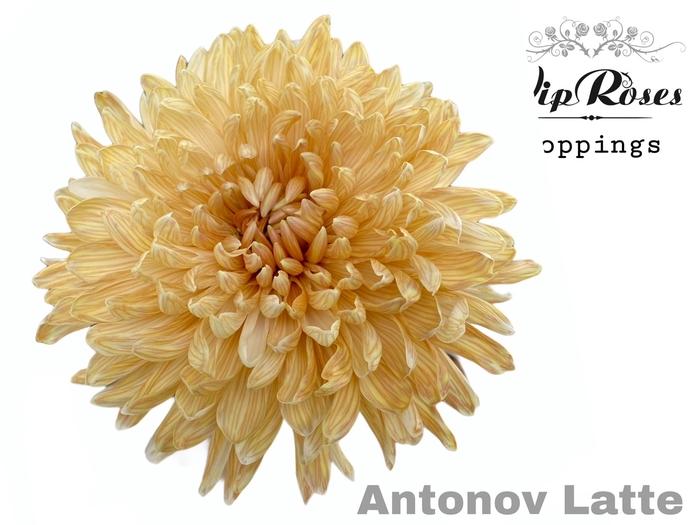 CHR G ANTONOV LATTE