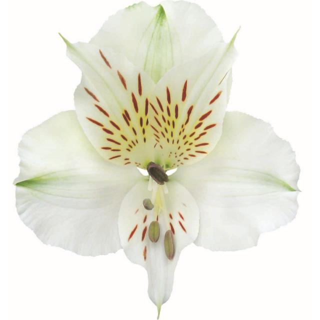 <h4>Alstr White Premium 80cm</h4>