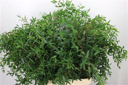 <h4>Dec Parvifolia</h4>