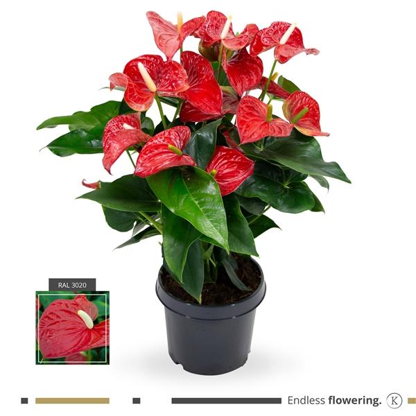 <h4>Anthurium karma red p21</h4>