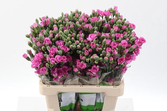 <h4>Di Tr Lilac Melissa Select</h4>