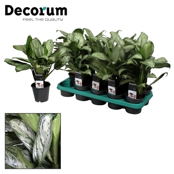 <h4>Aglaonema Maria Christina (Decorum)</h4>